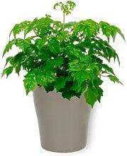 Radermachera Sinica - Arbre Serpent - Plante