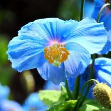 Rare Graines de pavot bleu de l'Himalaya Hardy