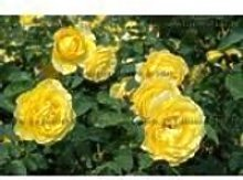 ROSIER PAYSAGER JAUNE - ROSA THE FAIRY YELLOW  -