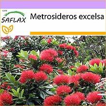 SAFLAX - L'arbre de Noël de Nouvelle-Zélande