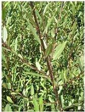 Saule à trois étamines (Salix Triandra) Jeune