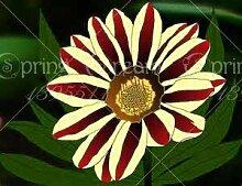 Shopvise 100 Pcs/Sac Gazania Fleur Graine Jardin