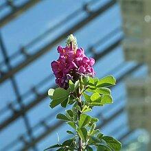 Superbe arbuste fleuri - Graines fraîches,