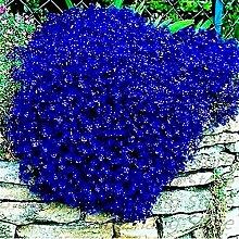 SVI frais 100 pcs vivace rampante plante Thym SEED