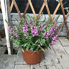 SwansGreen 18: Bonsai Gypsophila Ciel Étoile