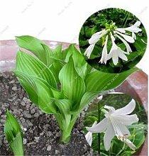 SwansGreen 3: Exotique Hosta Graine de plantes