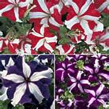 SwansGreen 4: Rare Violet Longevity Flower Seed