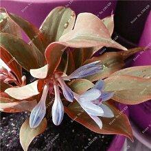 SwansGreen 6: Exotique Hosta Graine de plantes