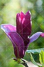 SwansGreen 6: Rare Bonsai Fleur Graine jardin