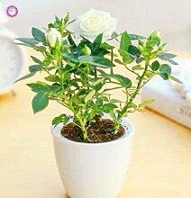 SwansGreen 8: 100 PCS Mini Rose Bonsai Miniature