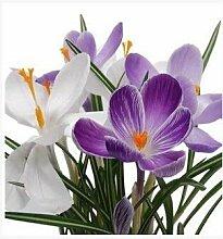 SwansGreen mixte: Rare Violet Longevity Flower