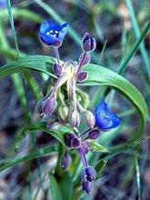 Tradescantia Bracteata – Prairie Spiderwort –