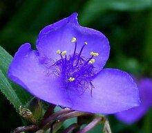 Tradescantia ohiensis - Ohio Spiderwort - 50
