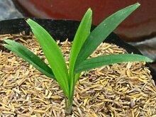 Tropical Cluster Palm - Graines fraîches, fruits,