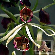 Un Pack 100 Pcs Rouge Edge Poulpe Orchidée
