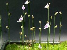 Utricularia Arenaria * * Plante Carnivore annuelle