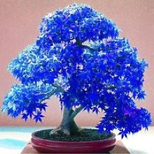 Vip2store® 20 Graines Erable Bleu Japonais Arbre