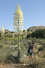 Yucca whipplei - Our Lord's Candle - 20