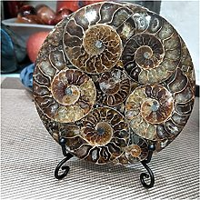 ZRNG Ammonite Fossil Slice Plateau Natura Shell A
