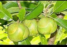 zumari 10pcs arbre fruitier éléphant pomme