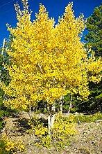 zumari 30 graines d'arbre fruitier asiatique